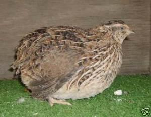 Jumbo coturnix quail - photo#23