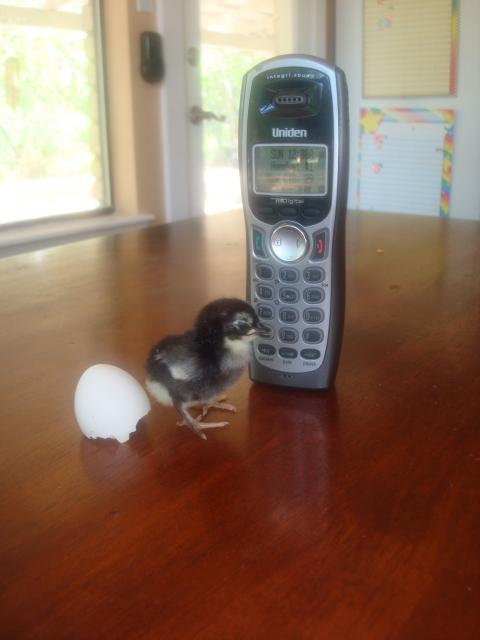 36370_chick_black.jpg