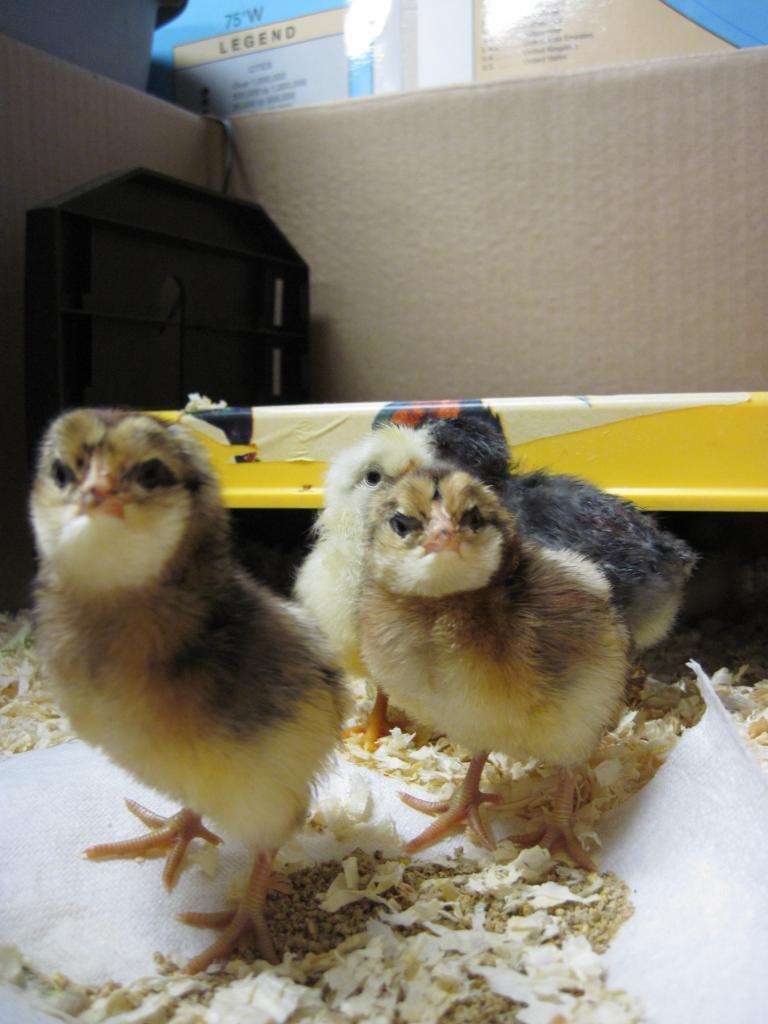 http://www.backyardchickens.com/forum/uploads/36979_img_2875.jpg