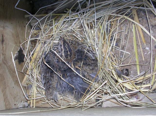 http://www.backyardchickens.com/forum/uploads/37153_broody_quail.jpg