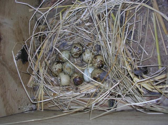 http://www.backyardchickens.com/forum/uploads/37153_quail_nest.jpg