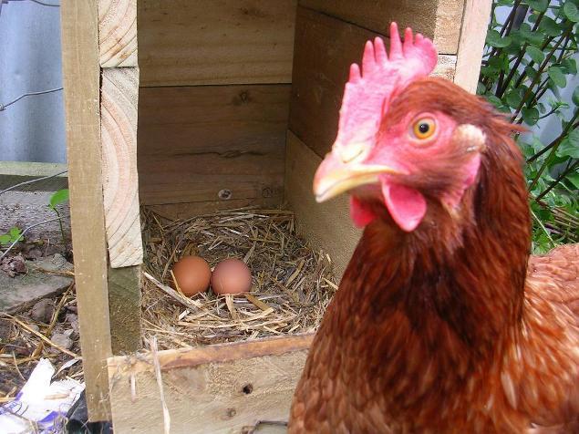 37153_rosie_with_eggs.jpg