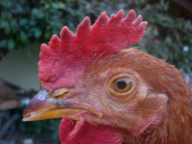 http://www.backyardchickens.com/forum/uploads/37266_p1040570.jpg