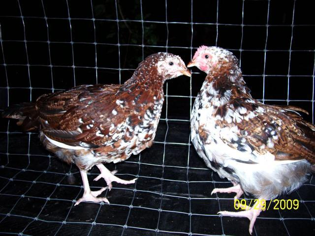 http://www.backyardchickens.com/forum/uploads/37373_100_4675.jpg