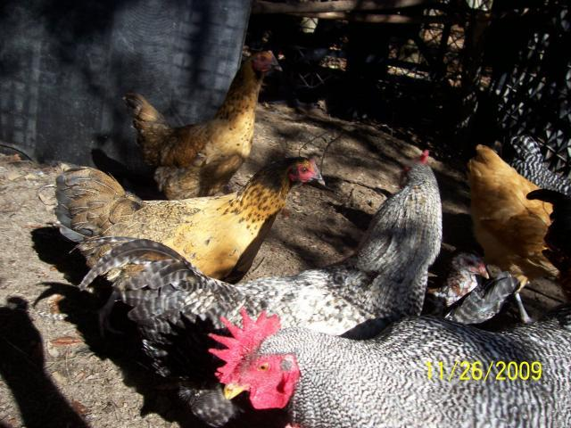 http://www.backyardchickens.com/forum/uploads/37373_100_5220.jpg