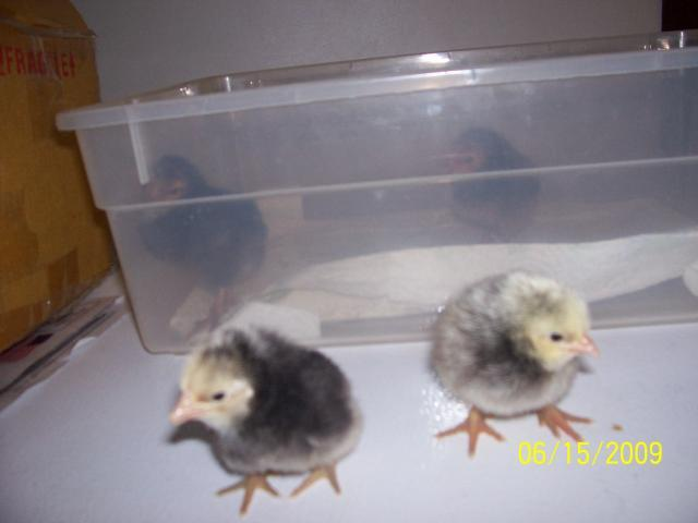 http://www.backyardchickens.com/forum/uploads/37373_chicks_050.jpg