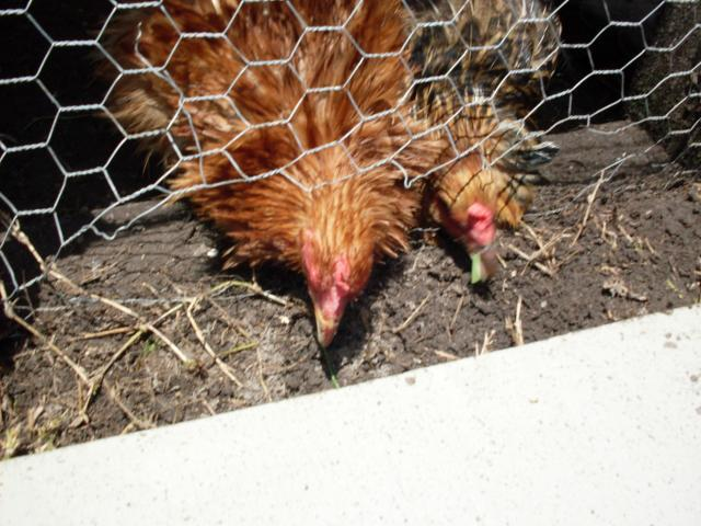 http://www.backyardchickens.com/forum/uploads/37500_sdc10161.jpg