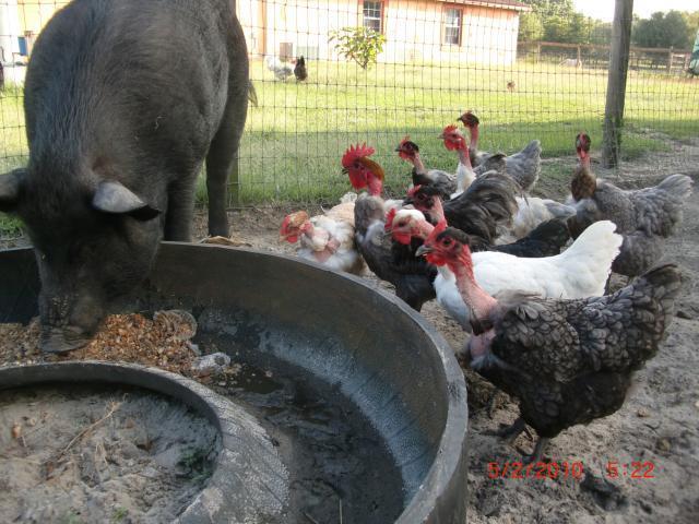 http://www.backyardchickens.com/forum/uploads/38176_sexy_001.jpg