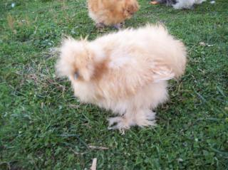 http://www.backyardchickens.com/forum/uploads/38593_picture.jpg
