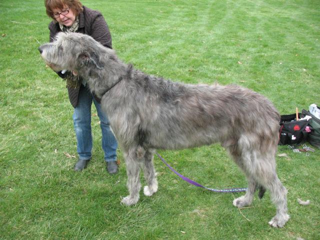 Pin Irish Wolfhound Vs Scottish Deerhound Image Search ...