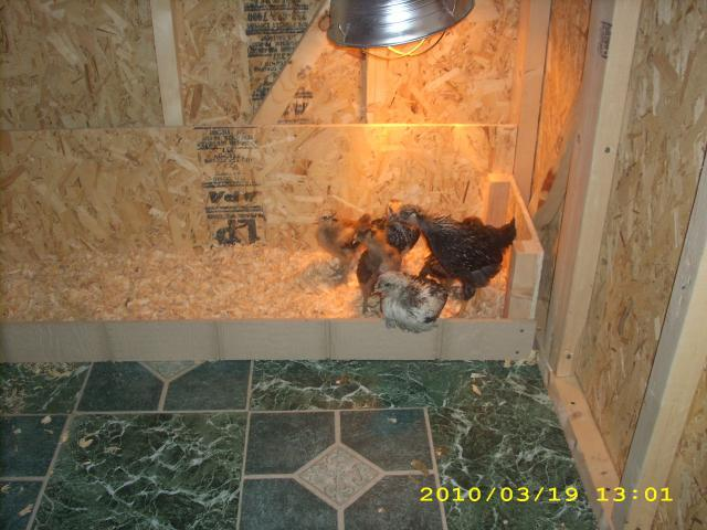 http://www.backyardchickens.com/forum/uploads/38787_032.jpg
