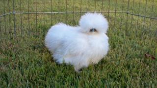http://www.backyardchickens.com/forum/uploads/38899_100_0987.jpg