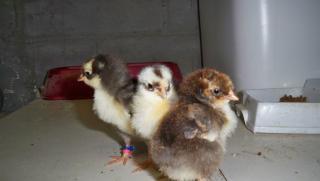 http://www.backyardchickens.com/forum/uploads/38899_100_1359.jpg