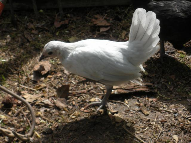 http://www.backyardchickens.com/forum/uploads/39028_apr27_10_023.jpg