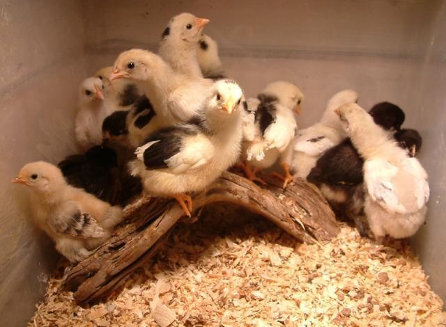 http://www.backyardchickens.com/forum/uploads/39089_2010norcochicks10daysold.jpg