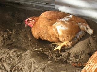 http://www.backyardchickens.com/forum/uploads/39800_dscn2846.jpg