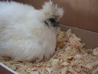 silkie with chick