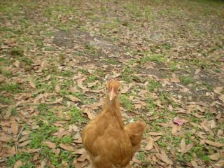 http://www.backyardchickens.com/forum/uploads/40308_byc_003.jpg