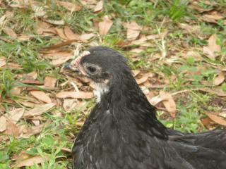 http://www.backyardchickens.com/forum/uploads/40308_byc_008.jpg