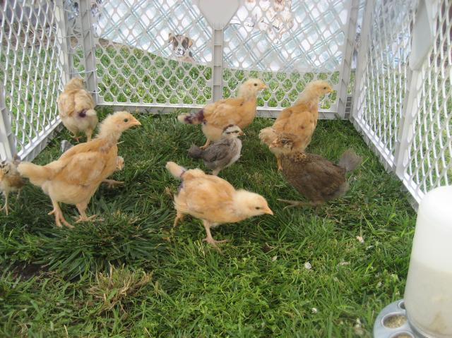 http://www.backyardchickens.com/forum/uploads/40347_picture_143.jpg
