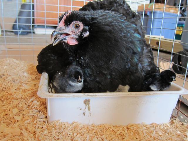 http://www.backyardchickens.com/forum/uploads/40359_broody_with_chicks_002.jpg