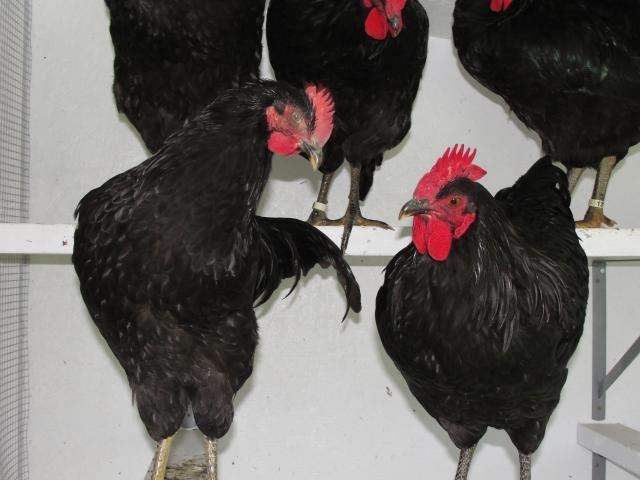 http://www.backyardchickens.com/forum/uploads/40359_dsc01024.jpg