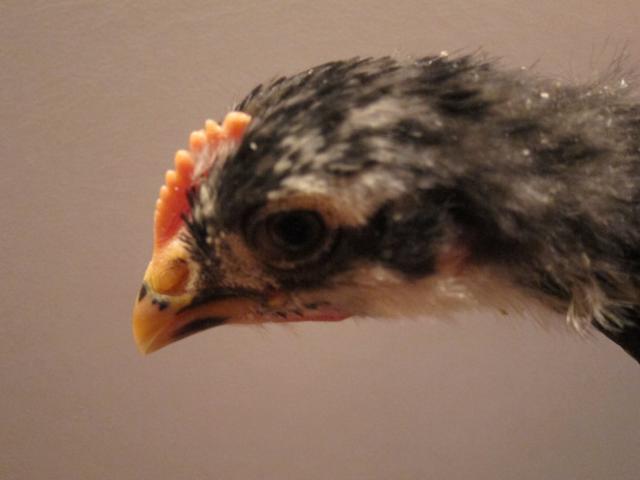 http://www.backyardchickens.com/forum/uploads/40359_img_0928.jpg