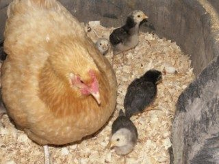 http://www.backyardchickens.com/forum/uploads/40481_chicken226.jpg