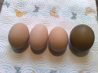 http://www.backyardchickens.com/forum/uploads/40490_21122009339.jpg