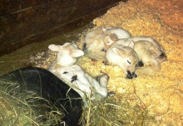 40707_0301711_lambs1c.jpg