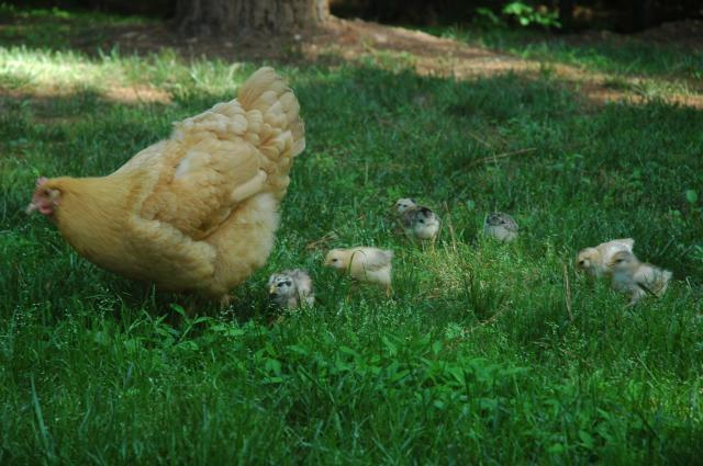 40731_chickens_063.jpg