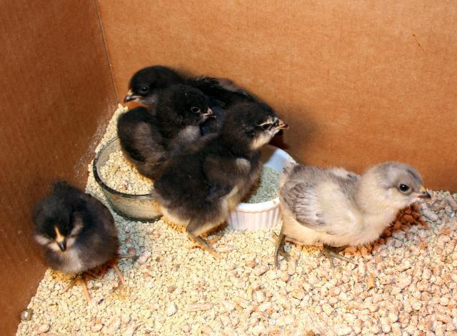 http://www.backyardchickens.com/forum/uploads/41069_new_chickies.jpg