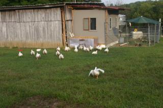 41083_chickens_026.jpg