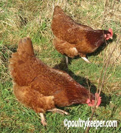 http://www.backyardchickens.com/forum/uploads/41441_rhodebar_hens.jpg
