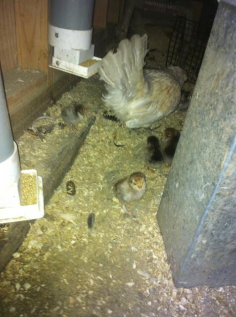 http://www.backyardchickens.com/forum/uploads/41679_angelbabylookingback.jpg