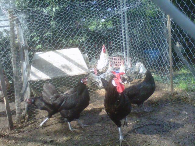 http://www.backyardchickens.com/forum/uploads/41731_img00491-20100629-1717.jpg