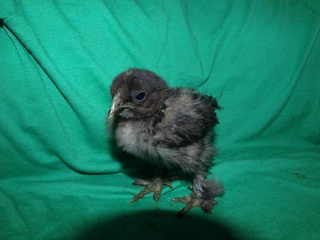 41831_2week_old_chicks_005.jpg