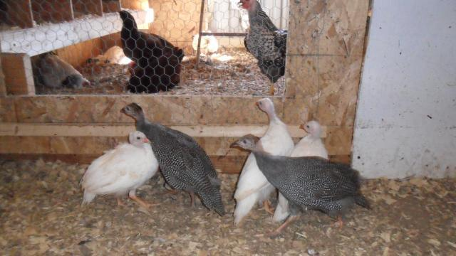 http://www.backyardchickens.com/forum/uploads/42269_sam_0234.jpg