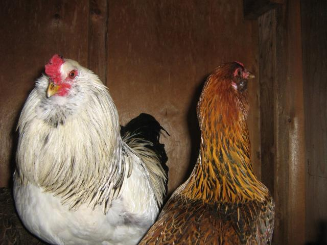 http://www.backyardchickens.com/forum/uploads/42359_003.jpg