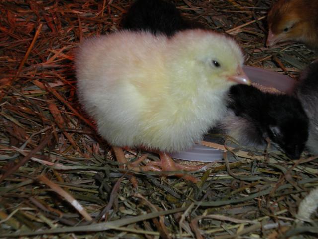 Baby chicks. Need help identifying breeds. | BackYard Chickens