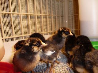 42658_chicks2.jpg