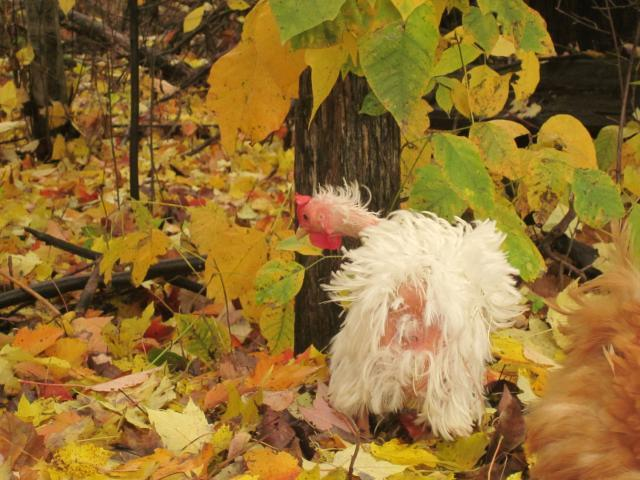http://www.backyardchickens.com/forum/uploads/43104_10-27-10_phoebe_34.jpg