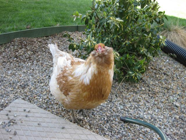 http://www.backyardchickens.com/forum/uploads/43104_4-12-10_esther_funny.jpg