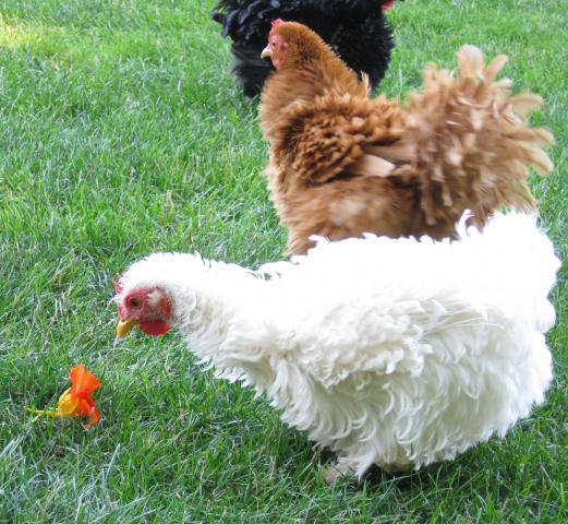 pictures of molting chicken backyard chickens
