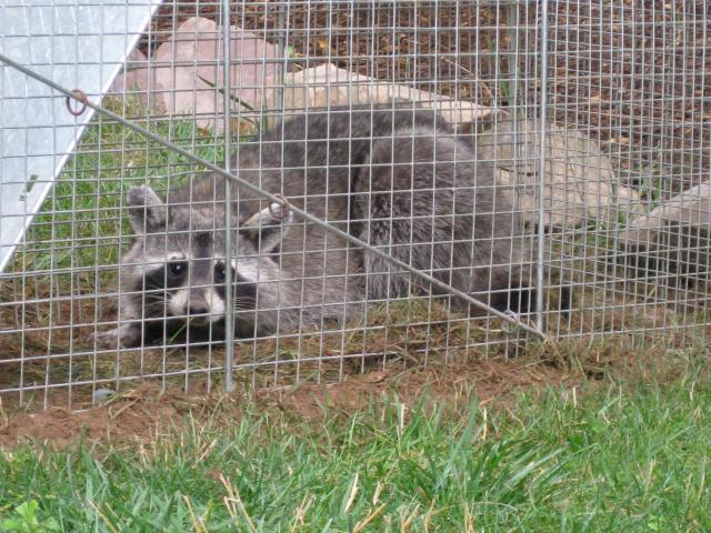 HELP!! Raccoon in my trap, should I release it or kill it
