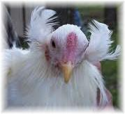 http://www.backyardchickens.com/forum/uploads/43104_araucana_tufts.jpg