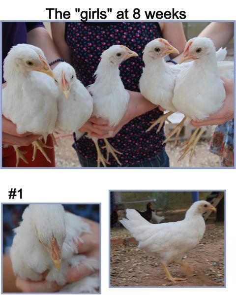 Black sex link chicken
