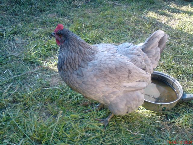 http://www.backyardchickens.com/forum/uploads/43667_dsc00428.jpg