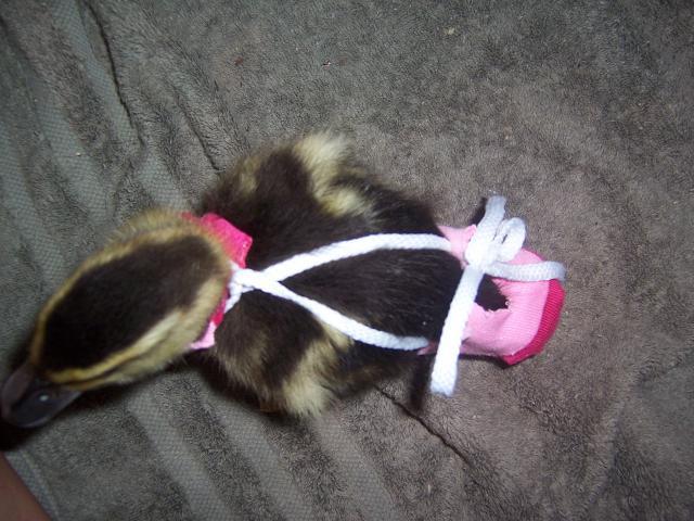 http://www.backyardchickens.com/forum/uploads/43796_diaper_004.jpg