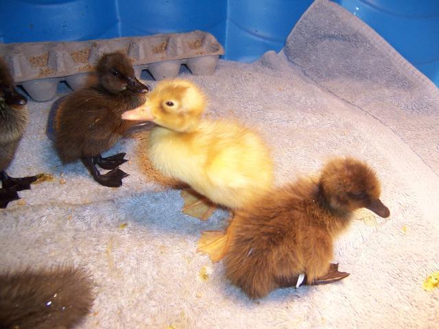 43796_ducks_003.jpg